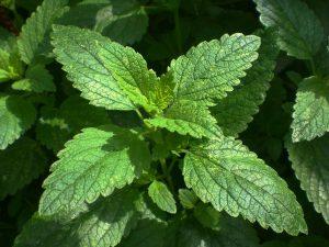 Lemon Plam Plant