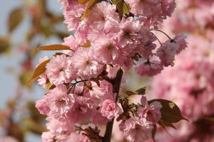 Pink Ornamental Cherry Bloosoms