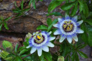Passionflower For Stress Relief