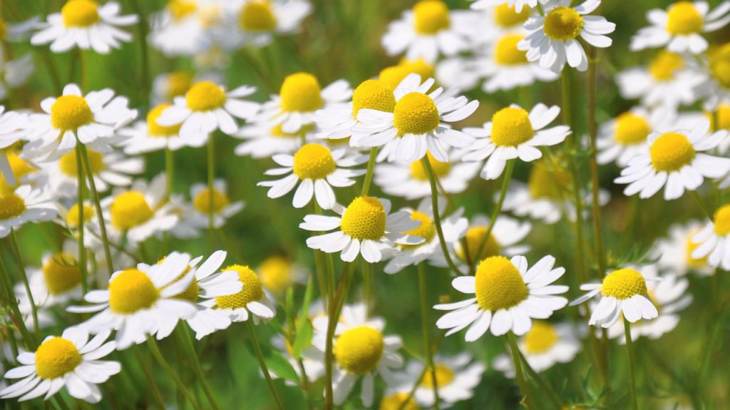 Chamomile growing in a meadow