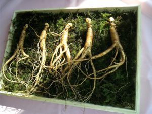 Ginseng For Stress Relief