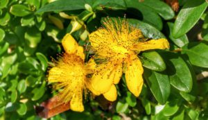 Great St.John's Wort