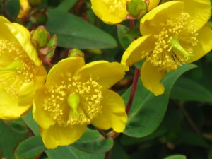 St. John's Wort for Stress Relief