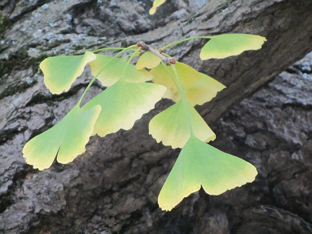 Ginkgo Biloba in Autumn
