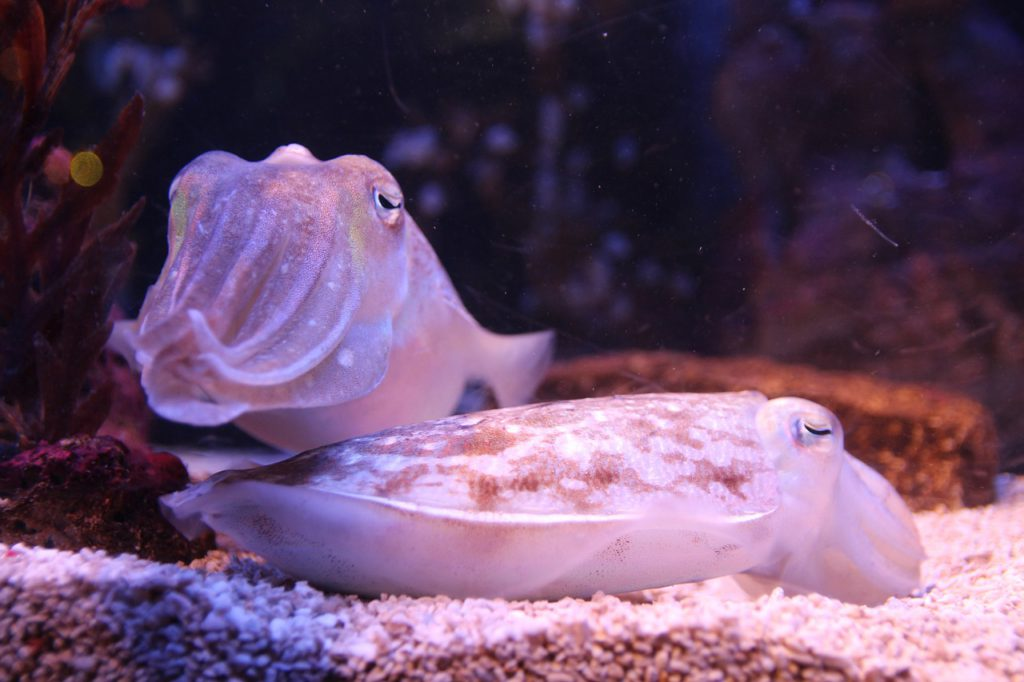 Cuttlefish and Sepia