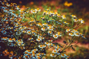 Feverfew for Stress Relief