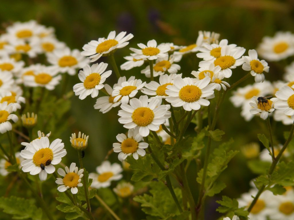 Feverfew for migraine