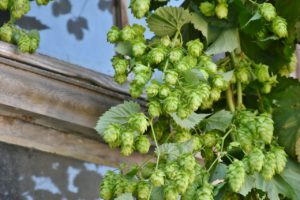 Hops Harvest