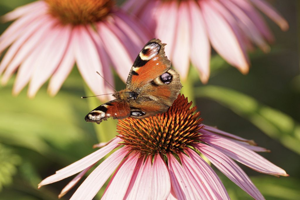 Echinacea ans Peacock Butterfly