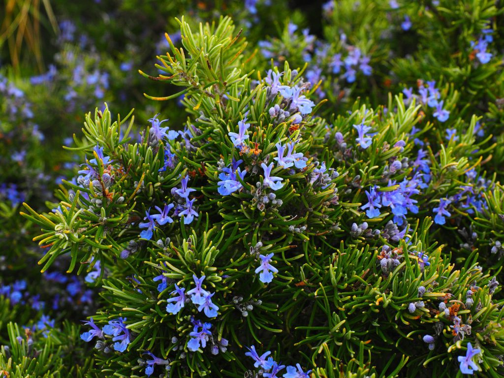 Rosemary For Stress