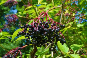 Elderberry For Health