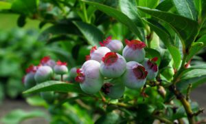 Bilberry Fruits