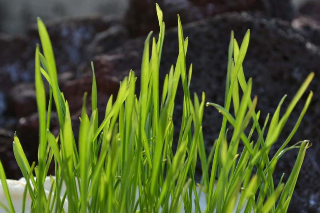 Wheatgrass Supplements