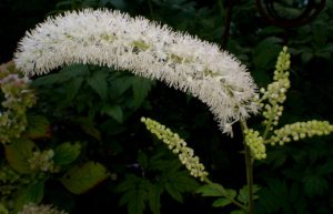 Black Cohosh For Your Health