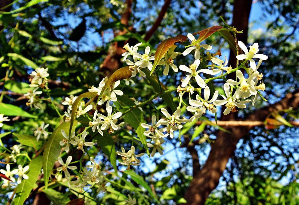 Neem (Azadirachta indica) For Stress Relief