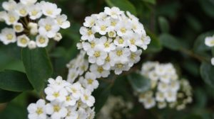 Hawthorn Flowers For Stress Relief