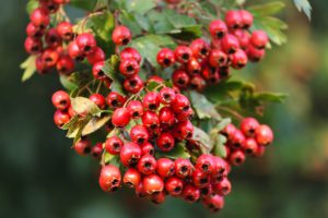 Hawthorn For Stress Relief