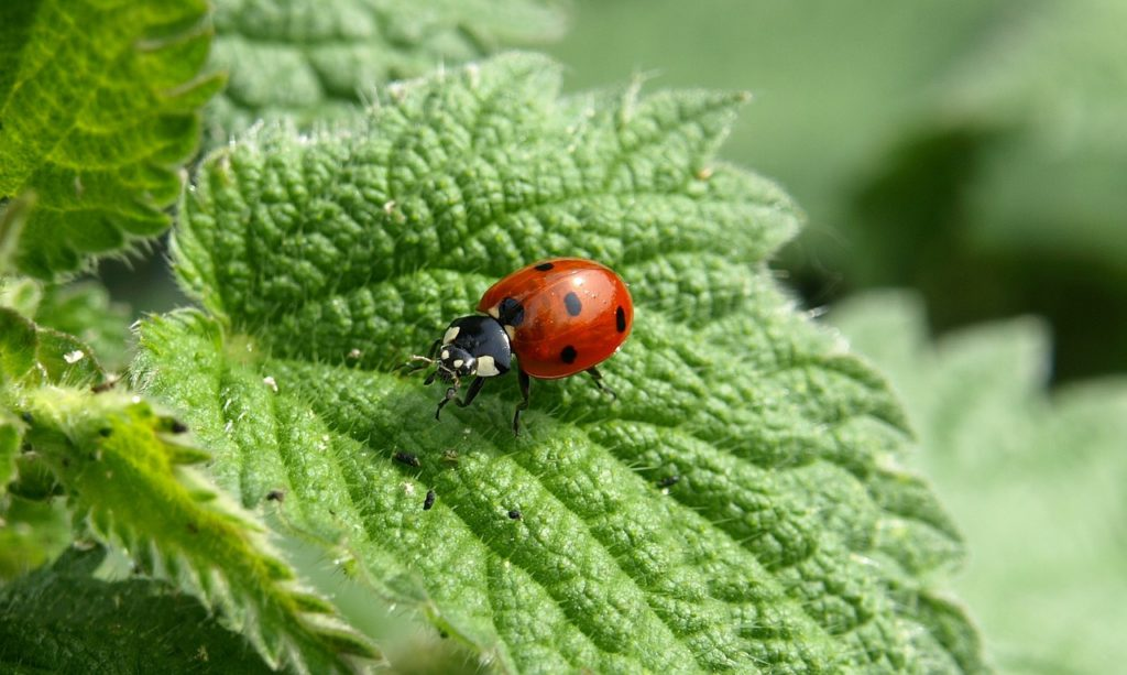 Ladybug and Nettle