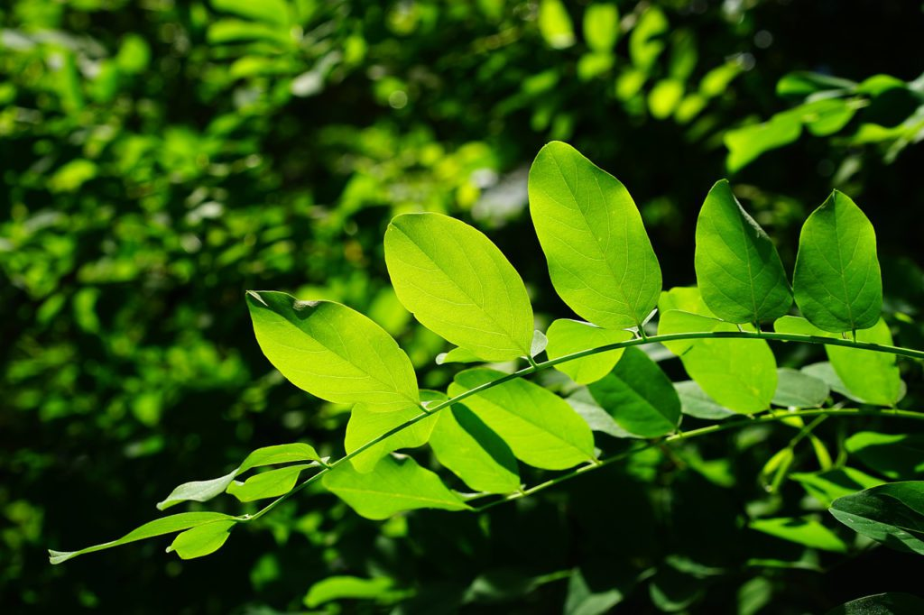 Chlorophyll and Leaves
