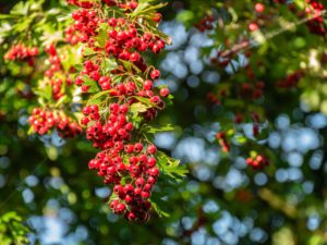 Hawthorn Tree For Stress Relief