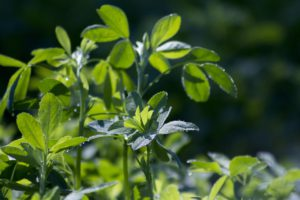 What Is The Best Alfalfa Supplement