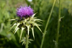 Milk Thistle For Stress Relief