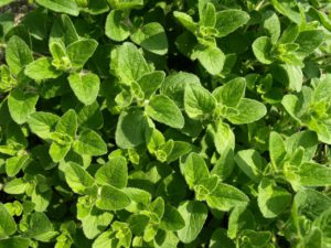 Oregano For Stress Management
