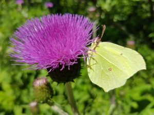 Milk Thistle For Your Health