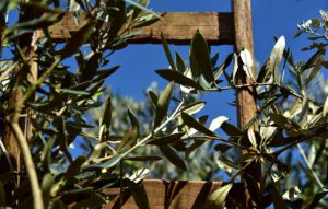 Wooden Ladder and Olive Tree
