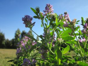 Alfalfa For Stress Relief and Relaxation