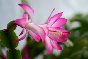 Christmas Cactus and Stress