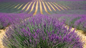 Lavender For Stress Relief