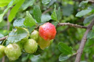 What Is Acerola Cherry? - Something Great for Stress Relief