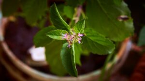 What Is Holy Basil Tea?