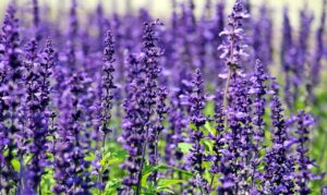 What Is Lavender