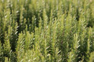 What Is Rosemary Good For? - Rosemary and Stress