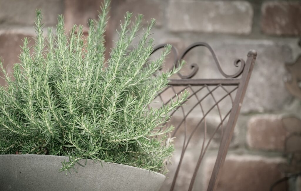 What Is Rosemary Tea? What Is Rosemary good for?