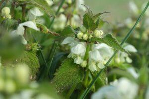 What Is White Dead Nettle?