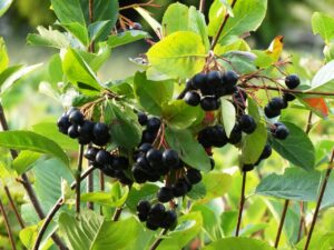 What Is Chokeberry